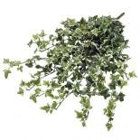 Клонка Бръшлян, зелен - 65 см